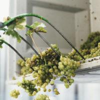 crushpad_sorting_grapes