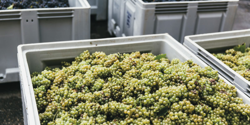 receiving grapes for sorting